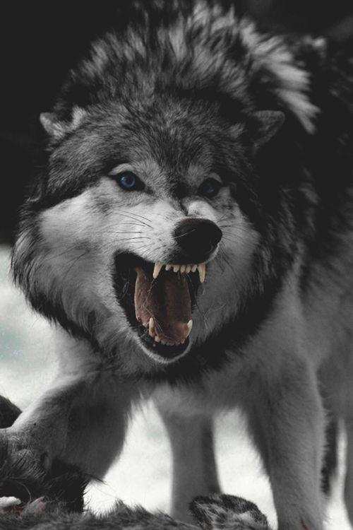 Imagens De Lobo Para Colocar Como Papel De Parede