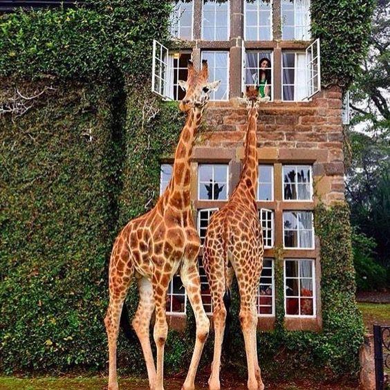 Girafas (11)