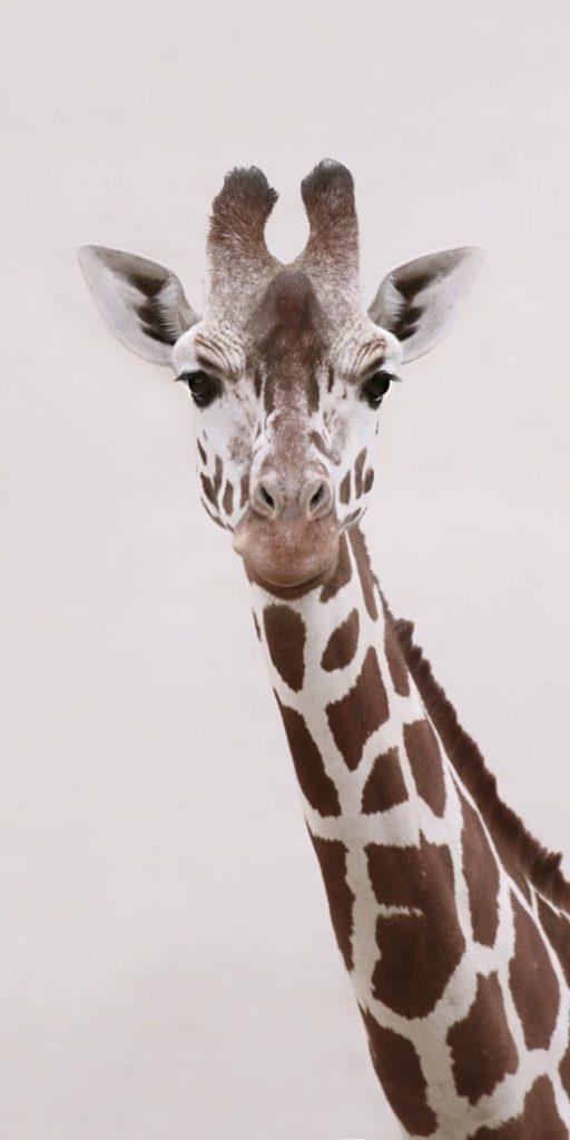 Girafas (5)