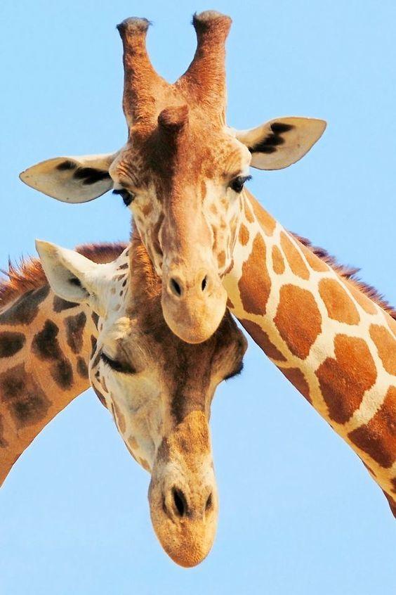 Girafas (8)