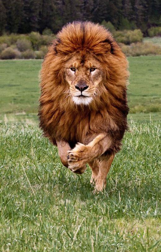 Leão (7)