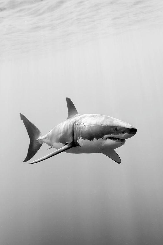 Imagens de tubarão (2)