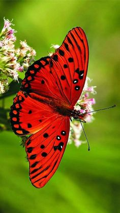 imagens de borboletas (10)